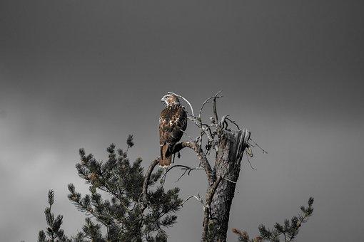 Bird, Hawk, Ornithology, Species, Animal, Avian