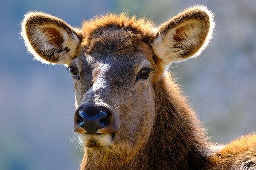 Wapiti, Animal, Head, Female Wapiti, Elk, Deer