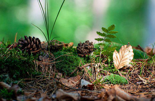 Forest, Nature, Grass, Conifer, Pine Cone