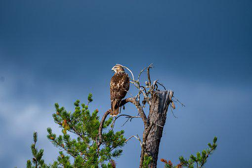 Bird, Hawk, Perched, Feathers, Plumage, Beak, Bill