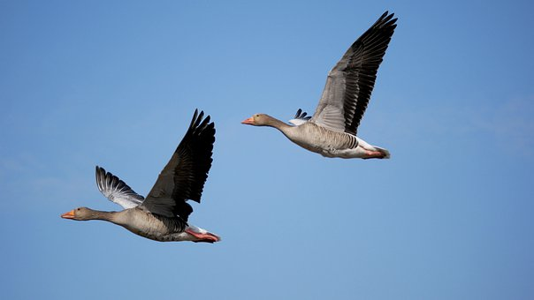 Greylag Geese, Geese, Flying, Sky, Birds, Waterfowls
