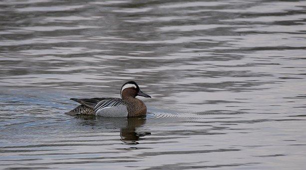 Duck, Water Bird, Lake, Nature, Wild Duck, Ornithology