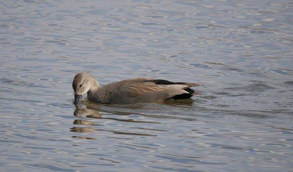 Duck, Water Bird, Lake, Waterfowl, Wildlife