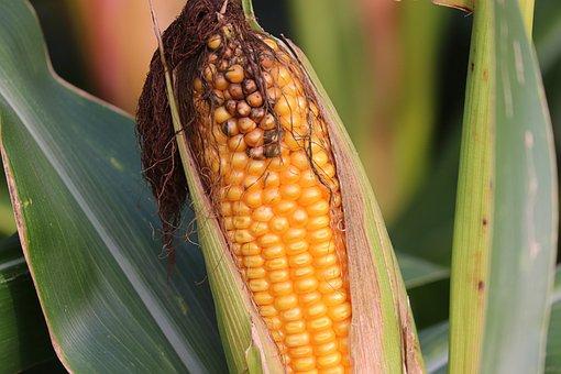 Forage Corn, Animal Feed, Corn On The Cob, Corn