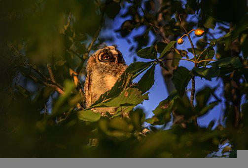 Long-eared Owl, Bird, Perched, Owl, Animal, Feathers
