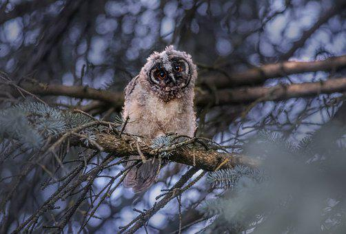 Long-eared Owl, Owl, Bird, Perched, Animal, Feathers