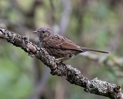 Dunnock, Bird, Perched, Animal, Feathers, Plumage, Beak