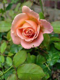 Flower, Rose, Garden, Nature, Petals, Flora, Bloom