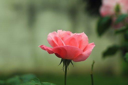 Flower, Rose, Nature, Garden, Petals, Flora, Plant
