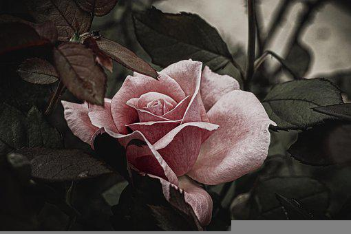 Flower, Rose, Rose Bloom, Petals, Pink Flower