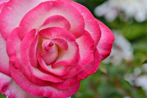 Rose, Flower, Plant, Pink Rose, Pink Flower, Petals