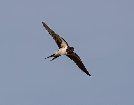 Swallow, Bird, Flight, Wings, Flying, Animal, Feathers