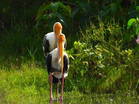Storks, Birds, Perched, Aves, Avians, Ornithology