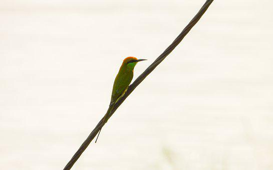 Green Bee Eater, Bird, Perched, Bee Eater, Animal