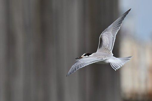 Arctic Tern, Bird, Flight, Wings, Flying, Animal, Tern