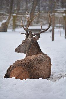 Deer, Animal, Winter, Wildlife, Nature, Trees, Forest