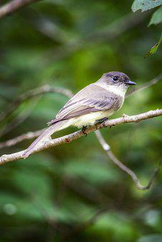 Eastern Phoebe, Bird, Perched, Animal, Feathers