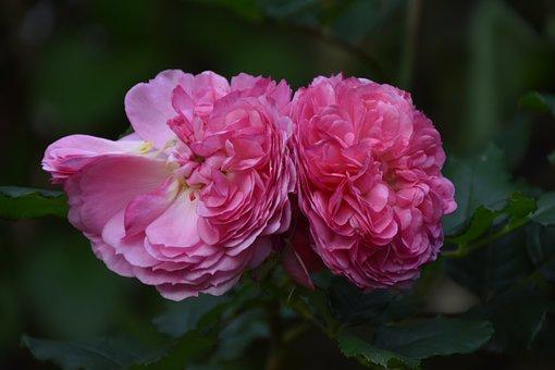 Flower, Garden Rose, Bloom, Blossom, Plant, Botany
