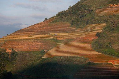 Tea Plantation, Field, Agriculture