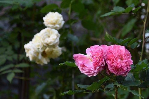 Roses, Flowers, Garden, Nature, Wedding Flowers
