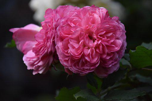 Roses, Pink Roses, Pink Flowers, Garden, Nature
