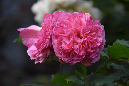 Roses, Pink Roses, Pink Flowers, Garden