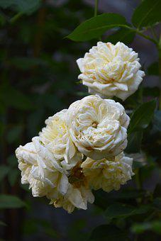 Roses, White Roses, White Flowers, Garden, Nature