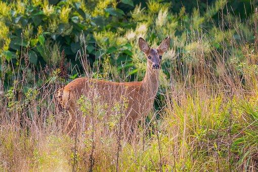 Roe Deer, Deer, Wildlife, Nature, Mammal