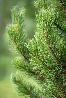 Mountain Pine, Needles, Branches, Leaves, Foliage