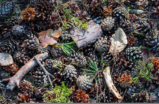 Pine Cones, Forest, Background, Pine Needles