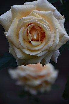 Flower, Rose, Bloom, Blossom, Plant, Botany, Petals