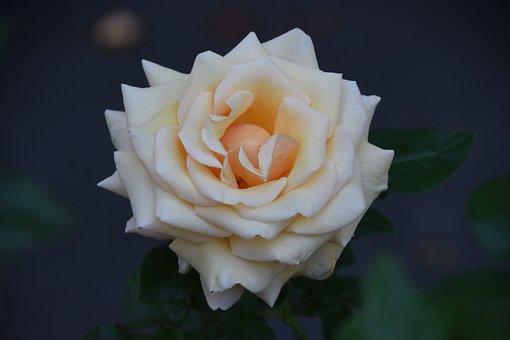 Rose, Flower, Plant, Garden Rose, Petals, Bloom, Leaves