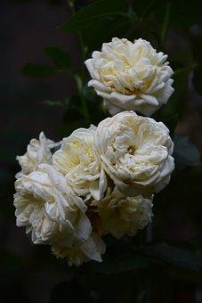 Roses, Flowers, Garden, White Roses, Rose Bloom, Petals