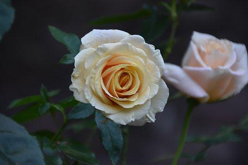Roses, White Roses, White Flowers