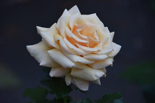 Roses, White Rose, White Flower, Garden