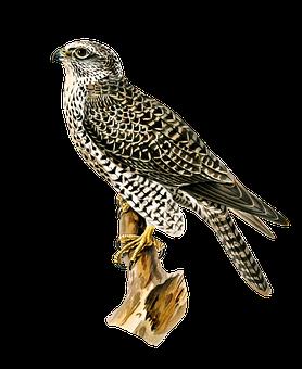 Bird, Gyrfalcon, Ornithology, Species, Animal, Avian