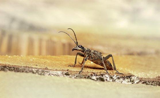 Beetle, Black-spotted Longhorn Beetle, Arthropod
