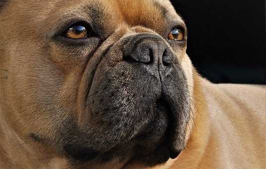 Dog, French Bulldog, Snout, Face, Cute, Nose, Eyes