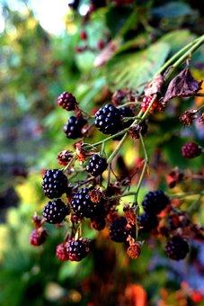 Blackberries, Fruits, Berries, Food, Fresh, Healthy