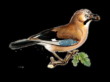 Bird, Eurasian Jay, Ornithology, Species, Animal, Avian