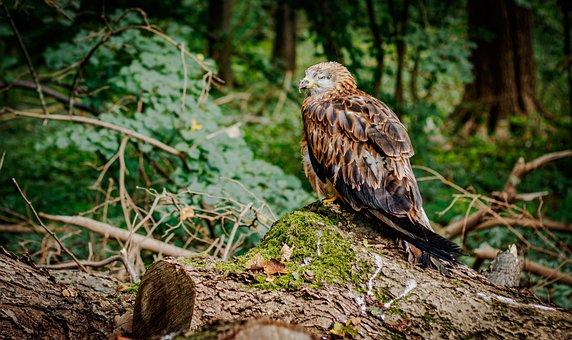 Bird, Common Buzzard, Ornithology, Species, Animal