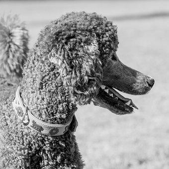 Poodle, Dog, Pet, Canine, Animal, Fur, Snout, Mammal