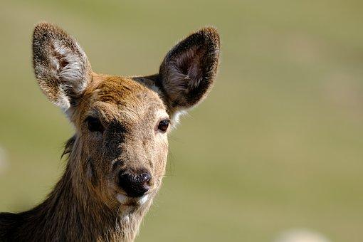 Deer, Animal, Head, Wildlife, Roe Deer, Mammal, Wild