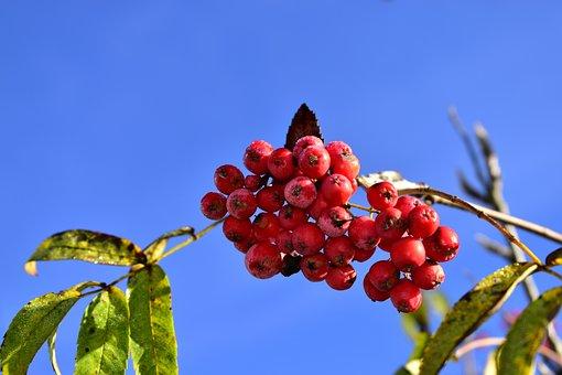 Rowan, Fruits, Berries, Food, Fresh, Healthy, Ripe