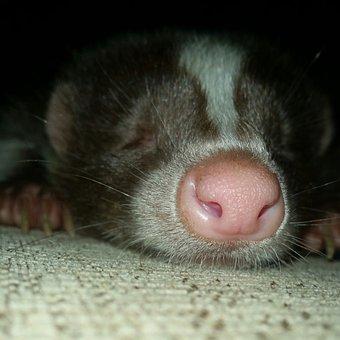 Skunk, Sleepy, Exotic, Animal, Pet, Mammal, Nature, Fur