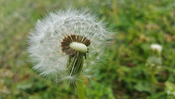 Dandelion, Spores, Seeds, Blow, Blowing, Fluffy