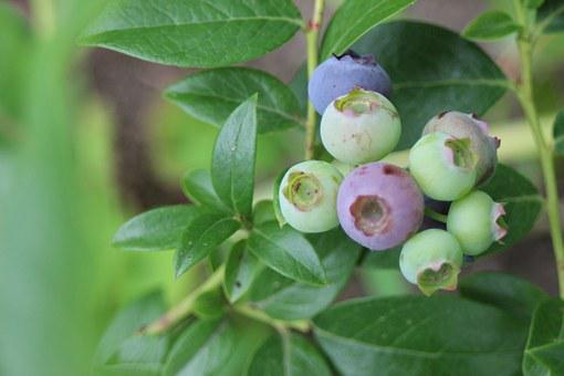 Blueberry, Fruit, Fruits, Berry, Bickbeere, Plant, Bush