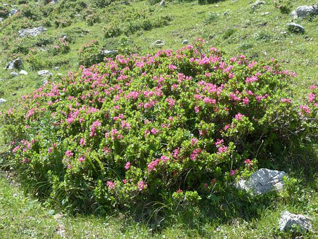 Ciliated Alpenrose, Bush, Flowers, Pink