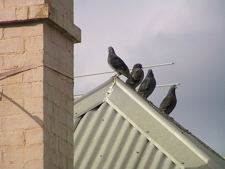 Bird, Pigeon, Roof, Chimney, Tin, Old, House