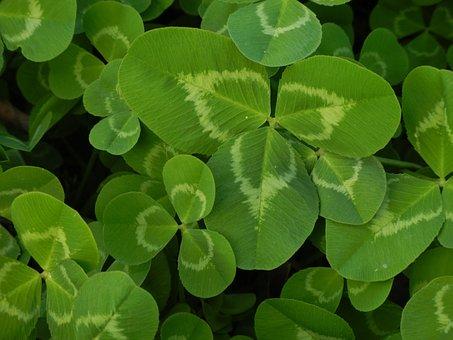 Clover, Green, Natural, Luck, Irish, Shamrock, Leaf